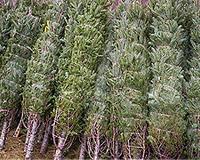 Christmas Tree Twine