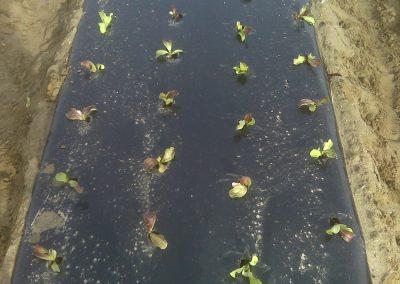 Lettuce_02