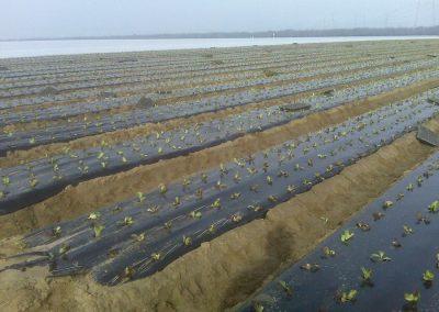 Lettuce_04