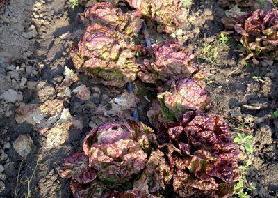 Lettuce_16