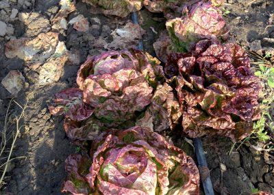 Lettuce_17