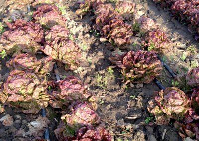 Lettuce_18