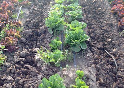 Lettuce_19