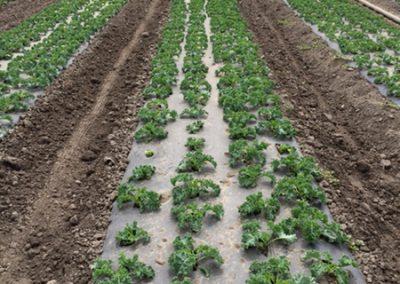 Lettuce_20