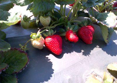 Strawberries_15