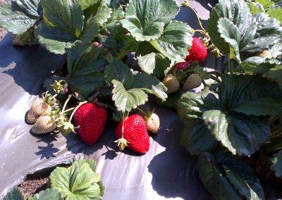 Strawberries_16