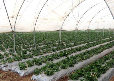Strawberries_24