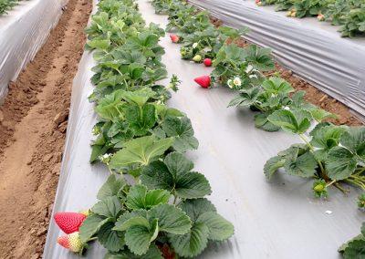 Strawberries_29