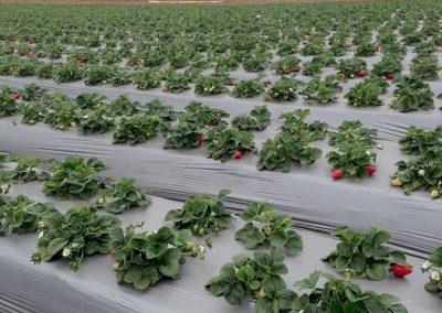 Strawberries_30