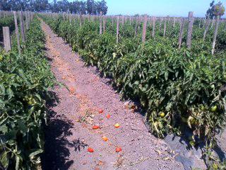 Tomatoes_08