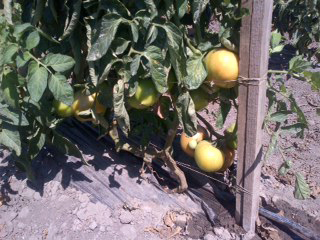 Tomatoes_09