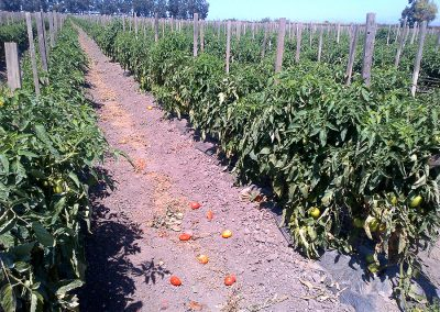 Tomatoes_14